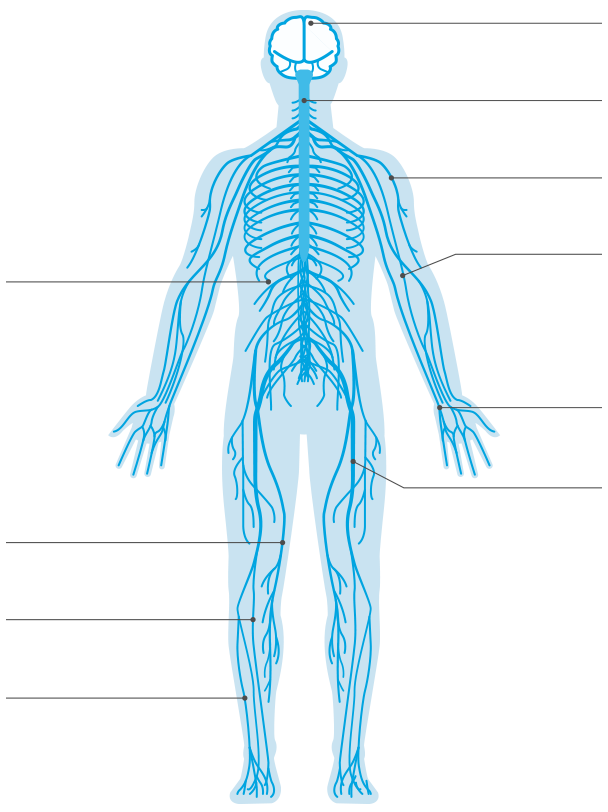 The gallery for --> Nervous System Diagram Without Labels